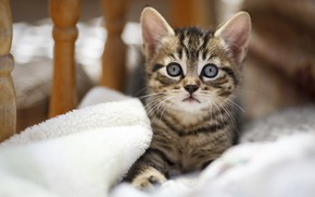 Picture cat, look, kitty, bed, baby, muzzle, lies, kitty