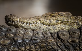 Picture face, close-up, background, stay, sleep, portrait, predator, teeth, leather, crocodile, sleeping, closed eyes