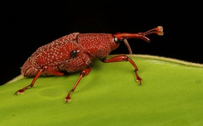 Picture Macro, Red, Beetle