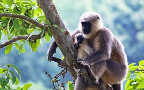 Picture branches, pose, tree, two, baby, monkey, monkey, a couple, cub, mom, sitting, monkeys