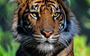 Picture face, the sun, close-up, tiger, portrait, predator, bokeh