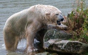Picture grass, face, nature, wet, river, stones, shore, wool, bear, mouth, fangs, polar bear, out of …