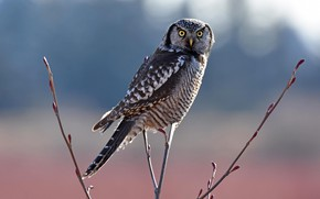 Picture the sun, branches, nature, owl, bird, bokeh, Northern Hawk-owl
