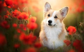 Picture look, flowers, Maki, dog, blur, ears, face, Welsh Corgi