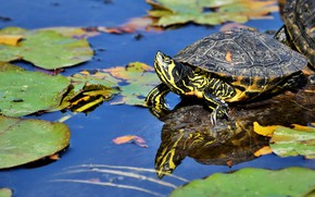 Picture look, leaves, water, lake, pond, reflection, turtle, green, pond, blue background, bug, water, water