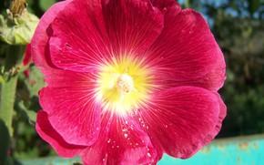 Picture flower, macro, red, mallow, Meduzanol ©