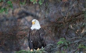 Picture branches, nature, bald eagle