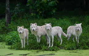 Picture forest, summer, grass, look, nature, the dark background, shore, swamp, wolf, pack, wolves, white, the …