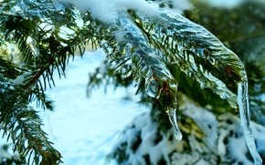 Picture winter, spruce, thaw