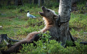 Picture tree, bear, The Bruins, songster, The reeds rustled!, birch, forest