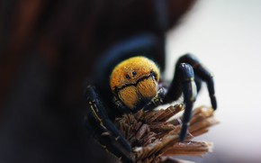 Picture macro, background, spider, the species is black