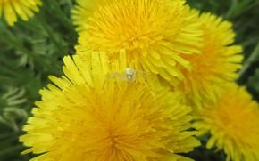 Picture macro, spider, dandelions, spring 2018, Meduzanol ©