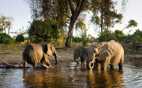 Picture grass, trees, nature, lake, elephants