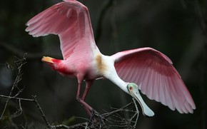 Picture branches, nature, bird, pink, wings, feathers, beak, bokeh, Roseate Spoonbill