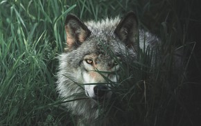 Picture grass, eyes, look, face, grey, wolf, portrait