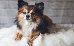 Picture eyes, dog, fur, Chihuahua
