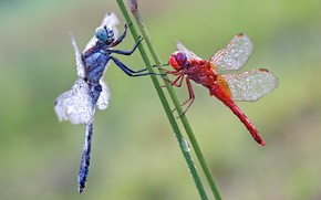 Picture macro, two, pair, dragonflies