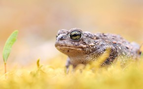 Picture background, leaf, frog, toad, bokeh