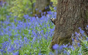 Picture forest, flowers, nature, tree, bird, glade, woodpecker, blue, bells, Peeps, Vance