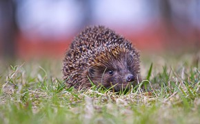 Picture forest, grass, look, nature, hedgehog, face, ears, hedgehog, bokeh
