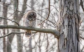 Picture forest, trees, branches, nature, owl, bird