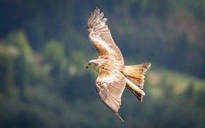 Picture flight, nature, background, bird, height, wings, kite, the scope
