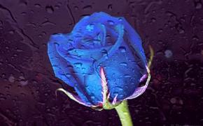 Picture light, rain, rose, Glass