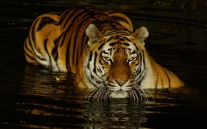 Picture look, face, water, light, tiger, the dark background, bathing, pond