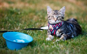 Picture cat, kitty, glade, leash, kitty, basin