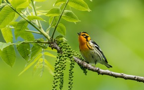 Picture nature, bird, Spruce forest songster
