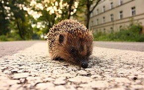 Picture road, the city, street, home, muzzle, hedgehog, walk, hedgehog, bokeh, hedgehog, hedgehog