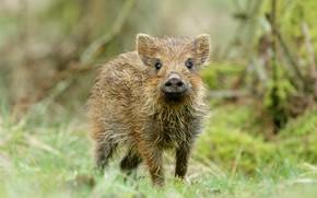 Picture forest, look, face, background, baby, pig, boar, cub, wildlife, pig, hog, Piglet, pig, piggy, pig …