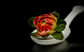 Picture Bud, spoon, black background, Dahlia