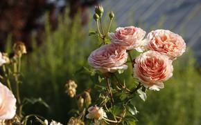 Picture light, flowers, roses, orange, bokeh, four, rose Bush
