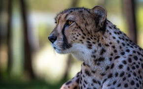 Picture face, portrait, Cheetah, profile