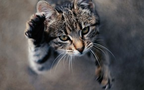 Picture cat, cat, look, face, pose, grey, movement, jump, blur, paws, striped, view