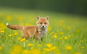 Picture dandelions, Fox, on the meadow