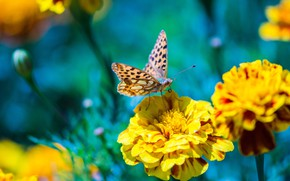 Picture macro, flowers, nature, butterfly, yellow, insect, blue background, bokeh, marigolds