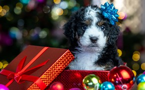 Picture balls, glare, box, gift, baby, Christmas, puppy, New year, face, doggie, Бернедудель