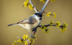 Picture bird, spring, Black-headed tit