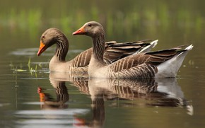 Picture water, birds, reflection, pair, grey, two, pond, goose, swimming, geese, two geese