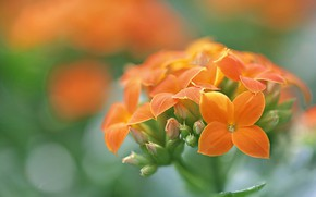 Picture macro, background, petals, buds, inflorescence, Kalanchoe
