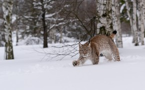 Picture winter, forest, snow, the snow, walk, lynx, sneaks