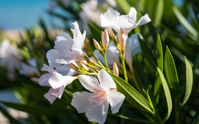 Picture white, branch, oleander