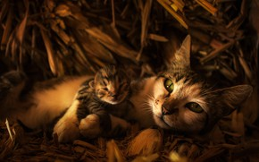 Picture cat, look, face, cats, kitty, baby, hay, mom