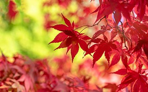 Picture autumn, leaves, branches, red, bokeh, autumn, Japanese maple
