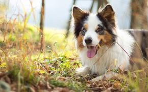 Picture autumn, language, grass, look, face, mood, foliage, portrait, dog, puppy, light, the border collie