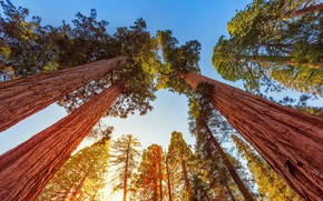 Picture the sky, trees, CA, USA, Sequoia national Park, the giant Sequoia, giant Sequoia, mammoth tree, …