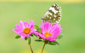 Picture summer, macro, flowers, green, background, butterfly, insect, pink, flowers, motley