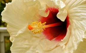 Picture flower, nature, hibiscus